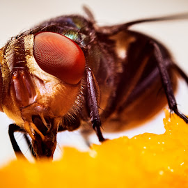 Bottle fly And Compound Eyes by Asrarul Islam - Novices Only Macro ( canon, reverse, macro, fly, 50 prime )