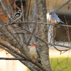 Downy & Red-Bellied Woodpecker and Eastern Bluebird (all males)