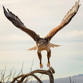 Harris Hawk in Flight by Todd Isaac - Animals Birds ( bird, fly, arizona, harris, hawk,  )