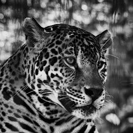 by Todd Sowels - Animals Lions, Tigers & Big Cats ( cat, b&w, zoo, close up, leopard, panama city )