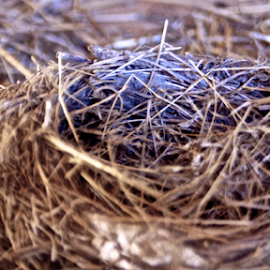 Robin Nest by Matthew Lynam - Nature Up Close Hives & Nests ( farm, life, barn, straw, discarded, birds nest )