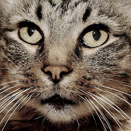 Clyde in Colour by Tracy Hughes - Animals - Cats Portraits ( pet portrait, colour, cat, pet, fur, animal,  )