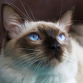 Max by Mark Dargan - Animals - Cats Portraits ( ragdoll, cats, cat, feline, felines )