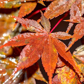 Leaves in the Rain by Carol Plummer - Nature Up Close Leaves & Grasses ( up close, nature, leaves, rain, maple,  )