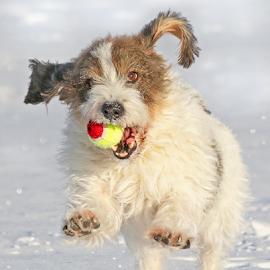 Catch! by Mia Ikonen - Animals - Dogs Playing ( playful, petit basset griffon vendéen, jumping, finland, fun,  )