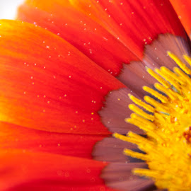 Macro Flower by Sherrie Haber - Nature Up Close Gardens & Produce ( orange, macro, pollen, yellow, close up, flower )