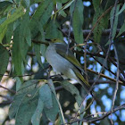 White-plumed honeyeater or Ringeye