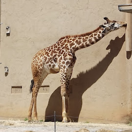 Baby Kiko by Anne Johnson - Animals Other Mammals ( herbivores, zoo, giraffe, mammal, african animals )