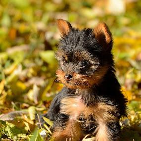 by Vladymyr Sergeev - Animals - Dogs Puppies