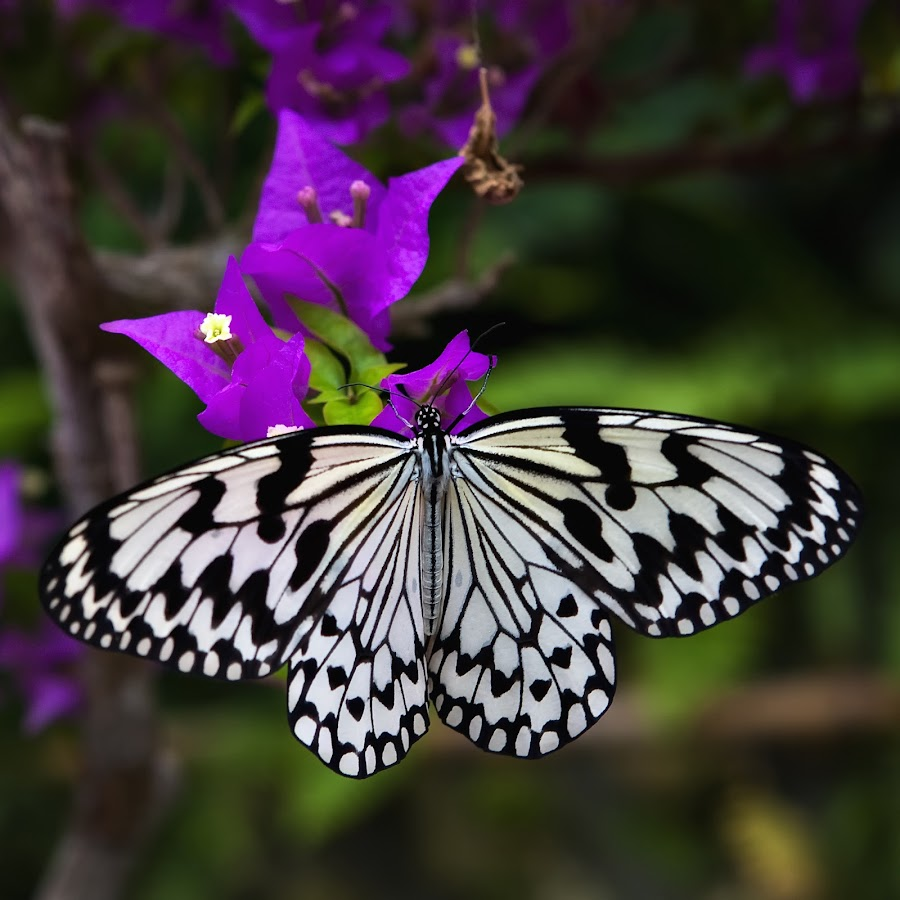 Black and WHite Beauty by Dale Frazier - Animals Insects & Spiders ( butterfly, collecting, peaceful, nectar, white, feeding, black and white butterfly, resting, nature, okinawa japan, blacka nd white, eating, natural, feasting, black, , colorful, mood factory, vibrant, happiness, January, moods, emotions, inspiration )