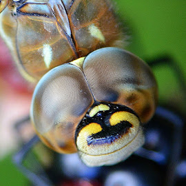 Migrant hawker by Kenny Goodison - Animals Insects & Spiders ( macro, migrant hawker, nature, insects, close up )