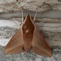 Levant Hawk Moth