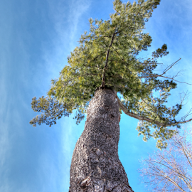 by Dipali S - Nature Up Close Trees & Bushes ( conifer, sky, tree, nature, flora, blue, foliage, green, pine,  )