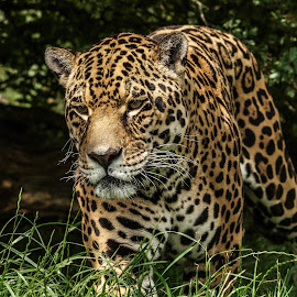 Jaguar by Garry Chisholm - Animals Lions, Tigers & Big Cats ( jaguar, garry chisholm, predator, carnivore, nature, wildlife )