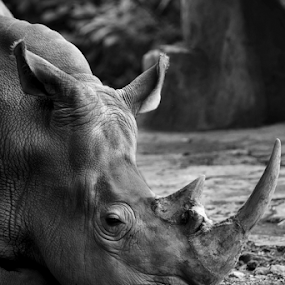 rhino #1 by Aditya Perdana - Black & White Animals