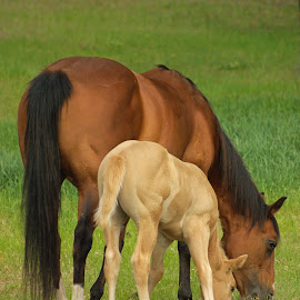 Side by side by Giselle Pierce - Animals Horses ( filly, mare, grazing, bay, horse, summer, birthing, foal )