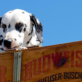 The Clydesdale Dalmation by Barbara Brock - Animals - Dogs Portraits ( budweiser dog, pet, dalmation, clydesdale dog, dog,  )