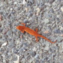 Eastern Newt (Red Eft stage)