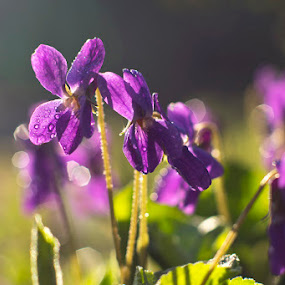 Violets by Станка Петрова-Христова - Flowers Flowers in the Wild ( nature, violet, violets, nature up close, flowers )