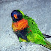 Royal King Austrailian Parrot