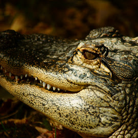 Waiting for the Jump by Dustin White - Animals Reptiles ( predator, zoo, alligator, reptile, close up,  )