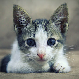 Kitto the Kitten by Aye Cruz - Animals - Cats Kittens ( kitten, cat, house pet, pet, animal )