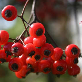 Red Berries by Loren Bradley - Nature Up Close Leaves & Grasses ( fruit, red, fall, kansas, berries )