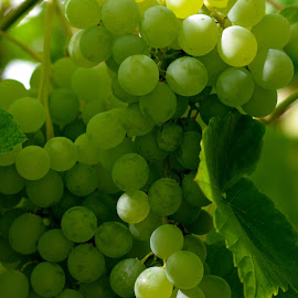 Himrod Grapes by Fred Øie - Food & Drink Fruits & Vegetables ( himrod, nature, grapes, greenhouse )