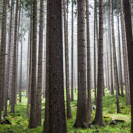 Hide and Seek by Catherine Larocque - Landscapes Forests ( nature, purity, trees, forest,  )