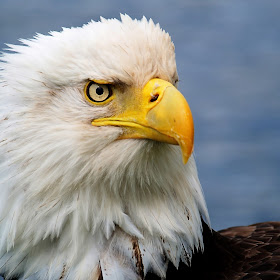 Portrait of an Eagle2.jpg