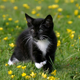 Baxter in Buttercups by Nikki Spencer - Animals - Cats Kittens ( field, cat, kitten, nature, grass, outdoor, cute, outside, buttercup )
