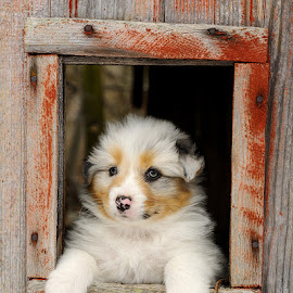 Barn Puppy by Robert Socha - Animals - Dogs Puppies ( window, barn, puppy, australian shepherd, dog )