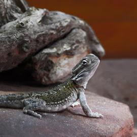 Lizard by Tamara Jacobs - Animals Reptiles ( lizard, reptile )
