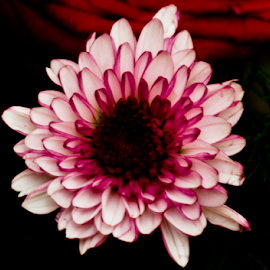 Chrysant by Yuvensius WanG - Nature Up Close Gardens & Produce
