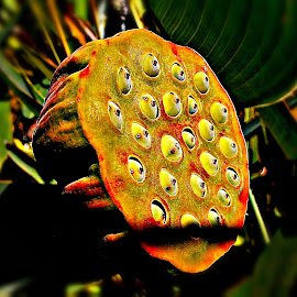 Waiting New Season by Marija Jilek - Nature Up Close Other plants ( nelumbo nucifera, nature, shadow, plants, seeds, sun, indian lotus )