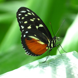 Up close with a butterfly by Chris Bertenshaw - Animals Insects & Spiders