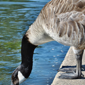 Goose drinking by Lily Fletcher - Animals Birds ( bird, water, neck, blue, drinking, goose,  )