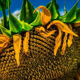 sunflower by Eseker RI - Nature Up Close Gardens & Produce ( Hope,  )