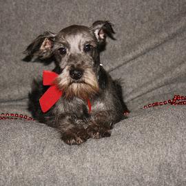 Christmas Puppy~Alex~ by Leah Danker - Animals - Dogs Puppies ( cute puppy, christmas puppy, puppy, alex, puppy portrait,  )