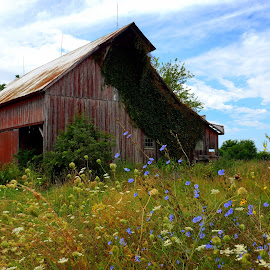 Z Barn by Steve Parsons - Buildings & Architecture Decaying & Abandoned ( farm, missouri, red, barn, weeds, decaying, abandoned, wild flowers )