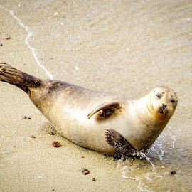 Oh Hi! by Evan Jones - Animals Sea Creatures ( seal, sea lion, funny, wildlife, ocean, beach,  )
