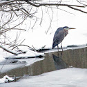 Great Blue Heron - ice fishing