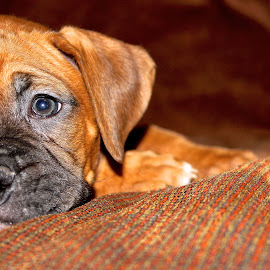 Hankers by Stephen Henry - Animals - Dogs Puppies ( sleepy time, hank, half, puppy, eyes,  )