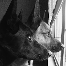 Boss and Grey by Erin Groves - Animals - Dogs Portraits ( animals, dogs, black and white, german shepherd dog, security, improving mood, moods, red, love, the mood factory, inspirational, passion, passionate, enthusiasm )