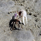 Atlantic Sand Fiddler Crab