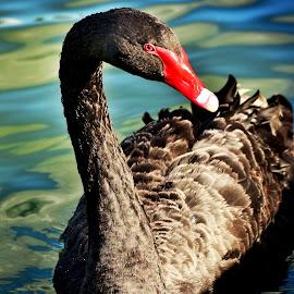 Black Swan II by Elizabeth Kraker - Animals Birds ( water, swans, nature, wildlife, birds, blacks swans,  )