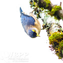 Sulphur-billed Nuthatch