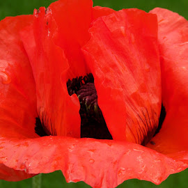 summer poppy, idaho by Ilona Williams - Novices Only Flowers & Plants