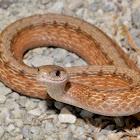 DeKay's Brown Snake