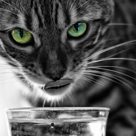 by Jane Bjerkli - Animals - Cats Portraits ( selective color, pwc )